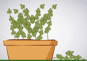 Cultivar culantro